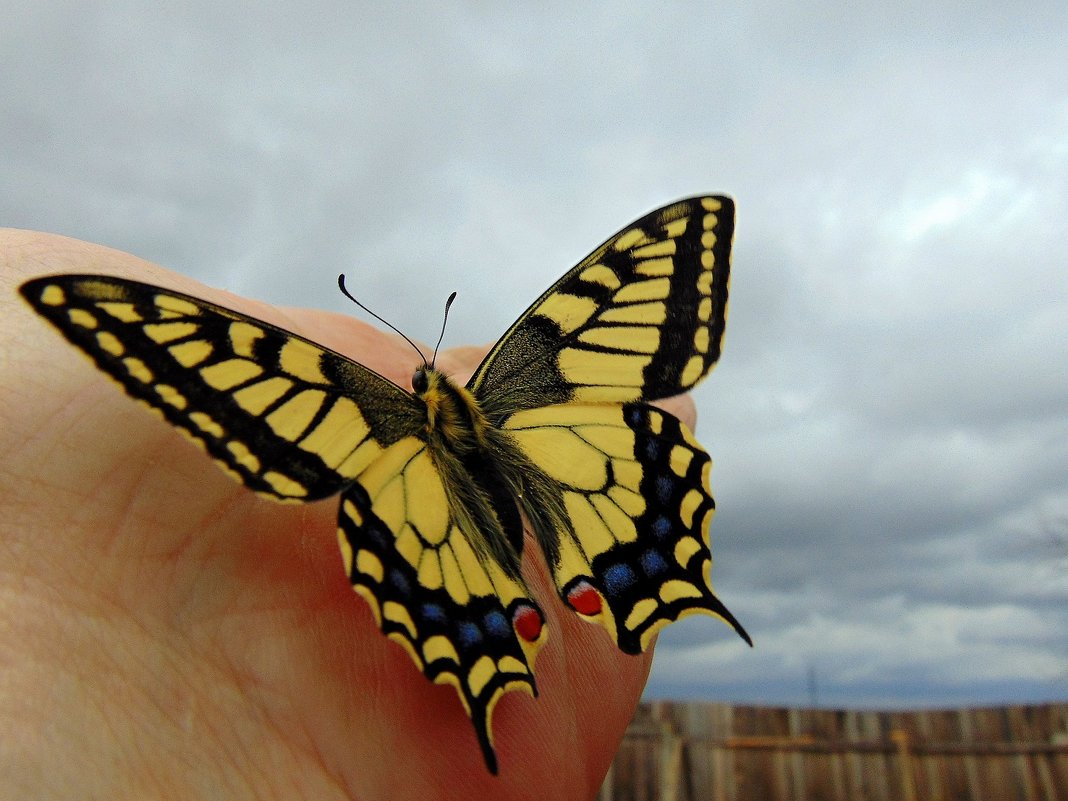 Первая бабочка. - nadyasilyuk Вознюк