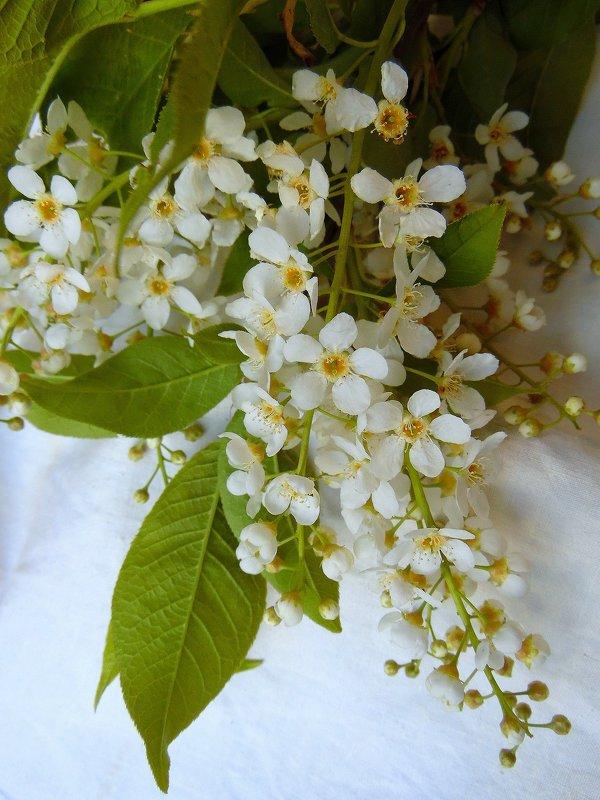 Белой черёмухи гроздья душистые.. - nadyasilyuk Вознюк
