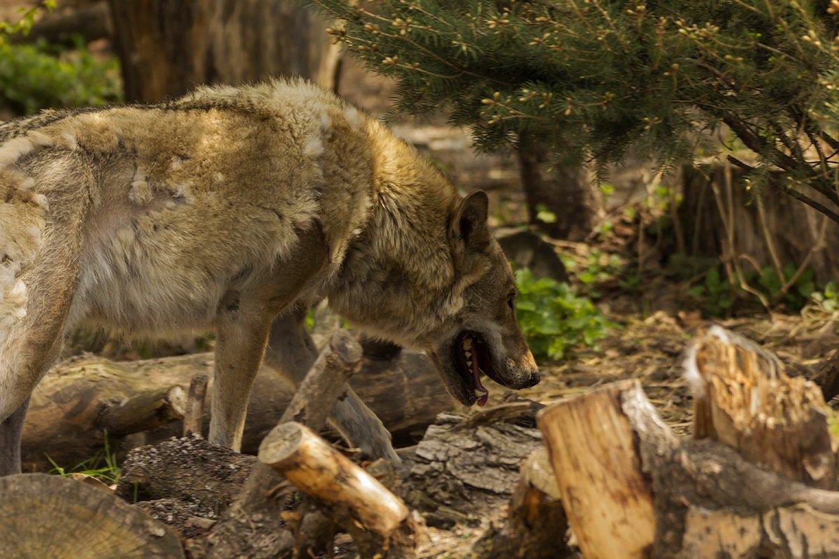 Волк - Александр
