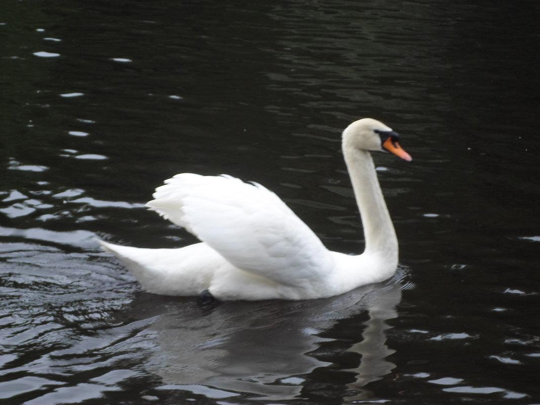 лебеди - Lyudmila