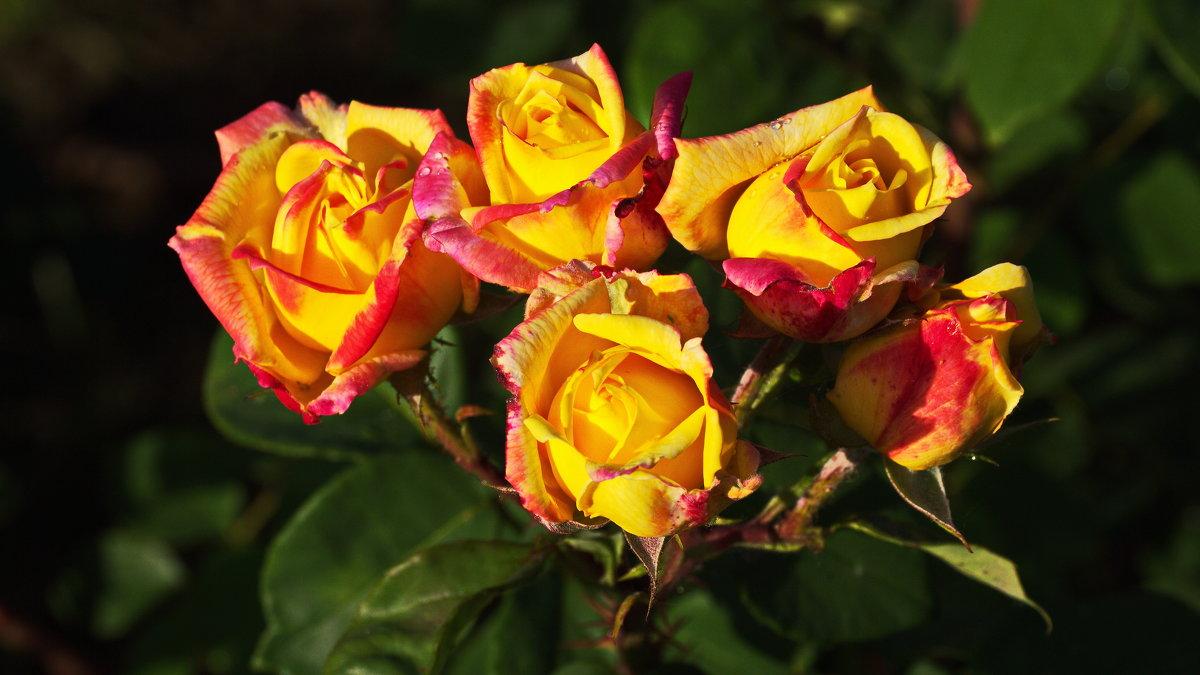 розы - Игорь