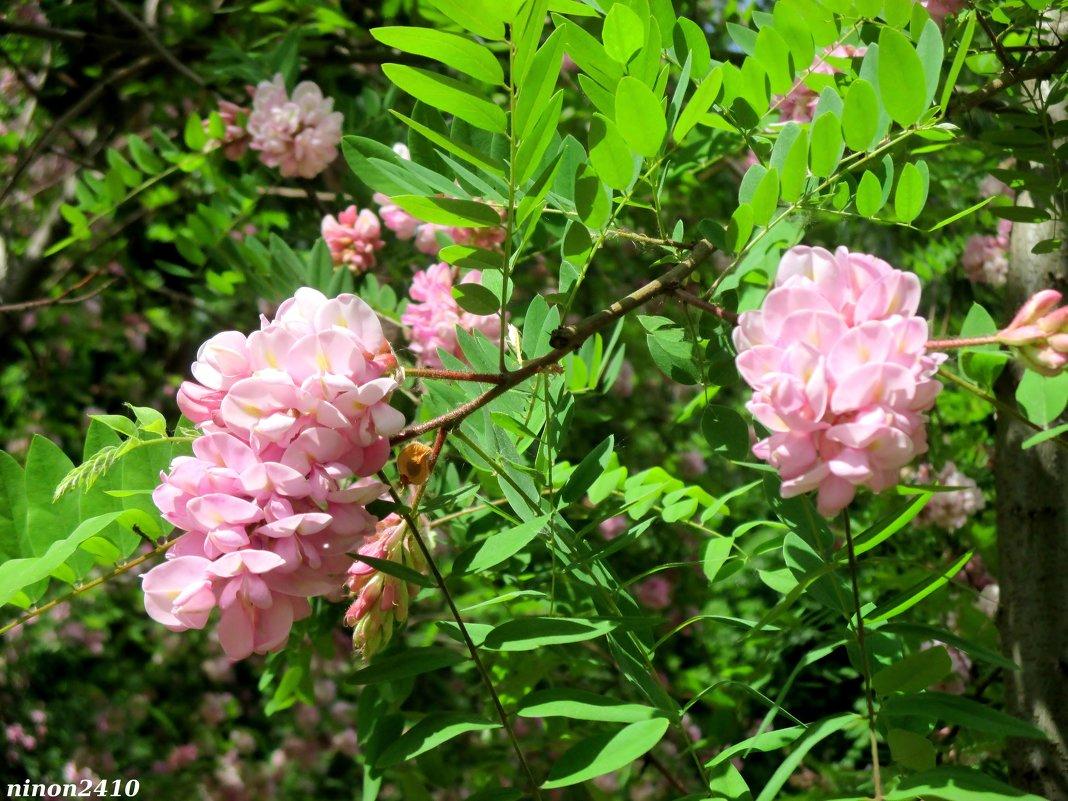 Розовая акация - Нина Бутко