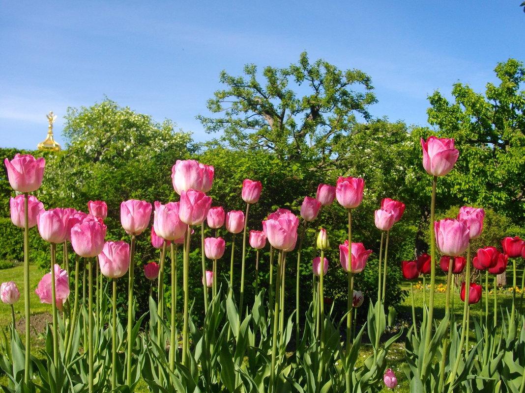 Май - время тюльпанов. - Лия ☼