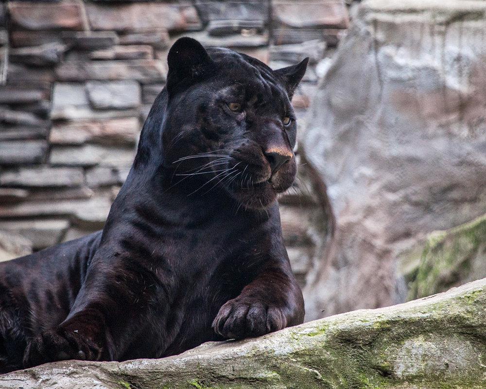 Пантера - Владимир Габов