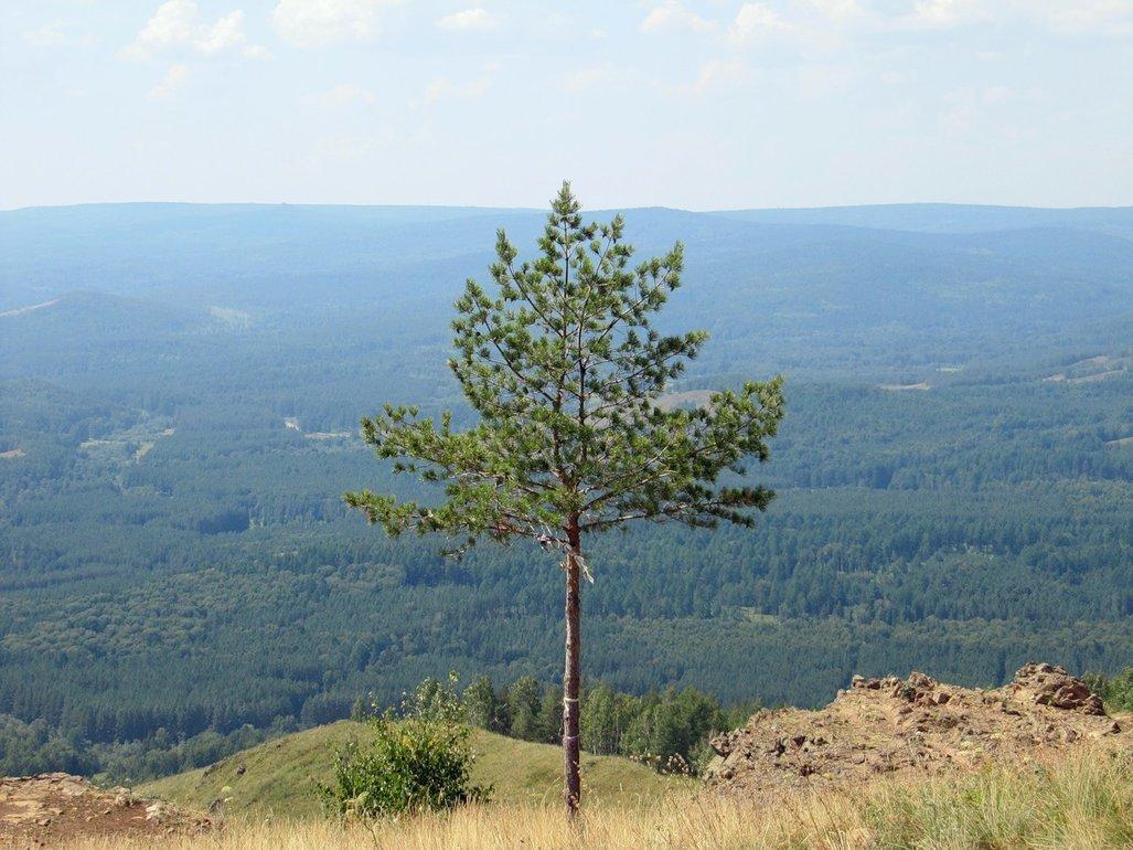 Одинокая сосна - Вера Щукина