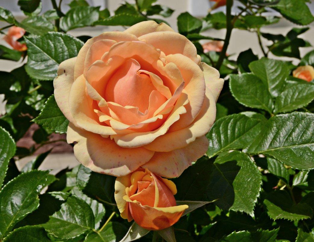 Растут возле правления розы