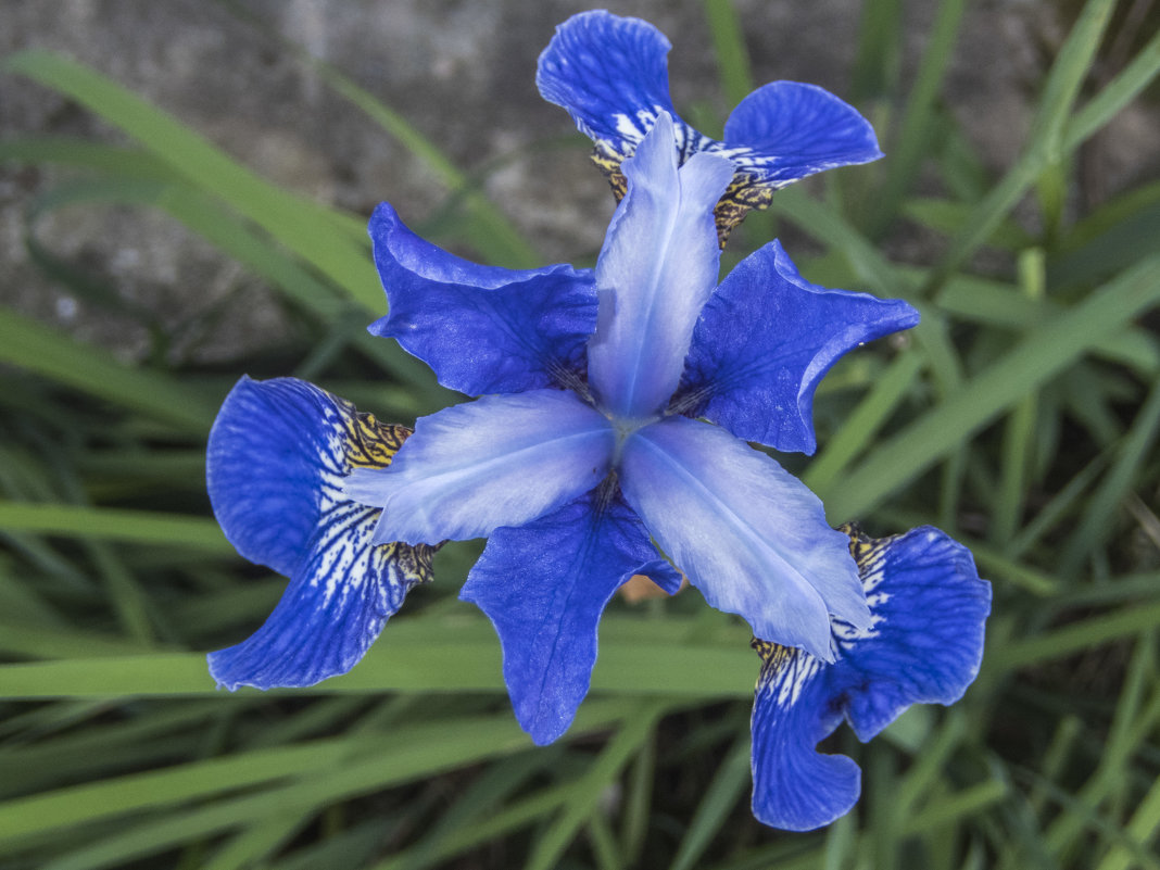 ирис сибирский - необычный цветок - Лариса Батурова