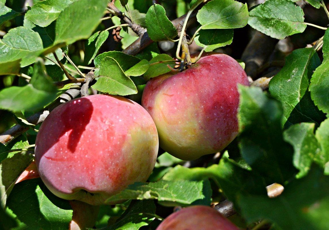 Спеют яблочки