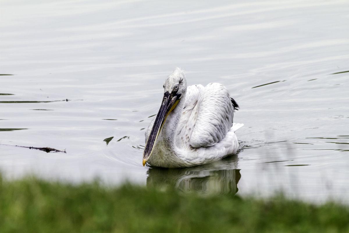 Кудрявый пеликан. - Yuri Chudnovetz