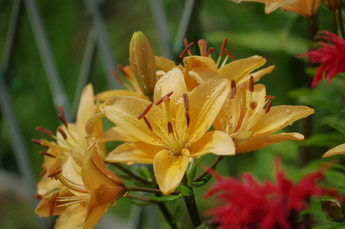 Лилии цветут... - * vivat.b *