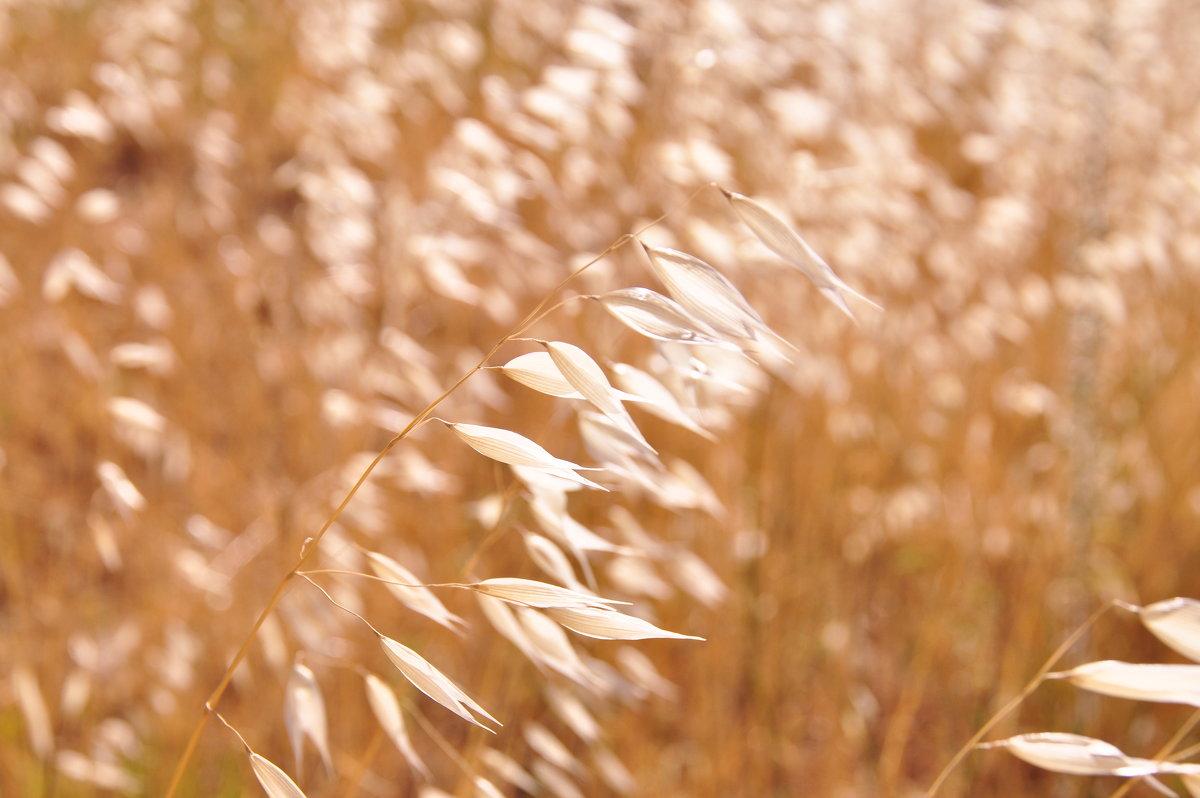 Золотистая трава! - Юлiя :))
