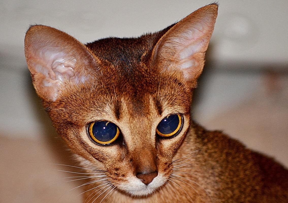 Абиссинская кошка Люся - Рэм Медянский