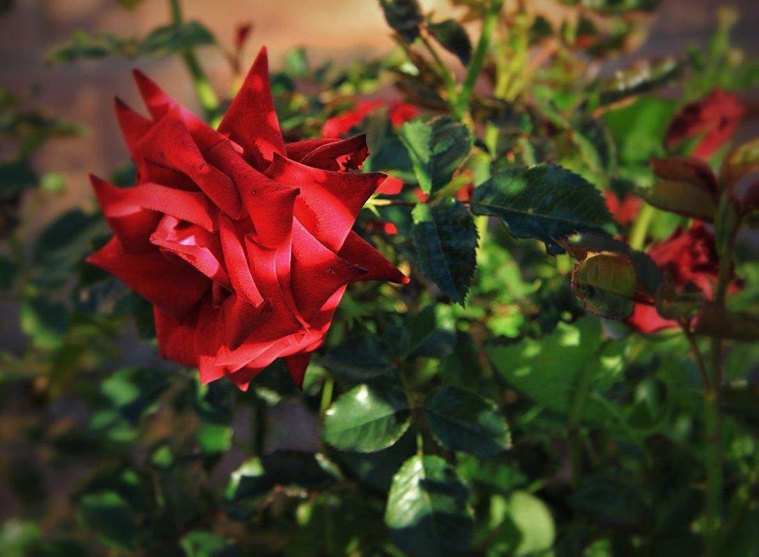 Мои испанские розы - Елена Олейникова