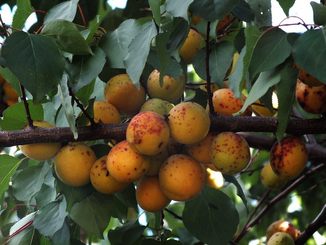 абрикосы - Зоя Мишина