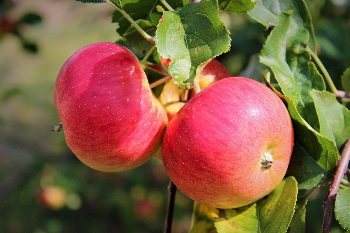 Жаркое лето с румянцем яблок - Екатерина