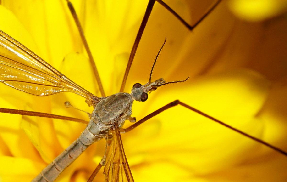 Комар-долгоножка или карамора,длина тела 2-60 мм. - Галина Кучерина