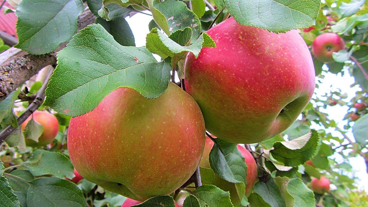 Яблоки - Виталий Андрейчук
