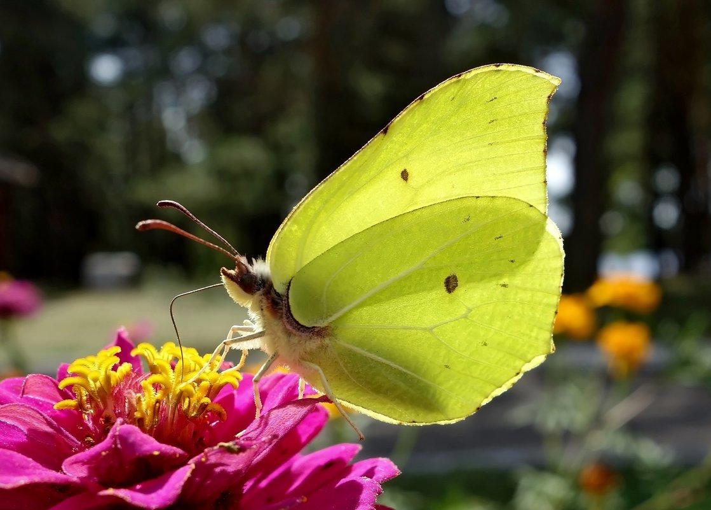 Бабочка Лимонница под солнцем. - Валентина Гундарева