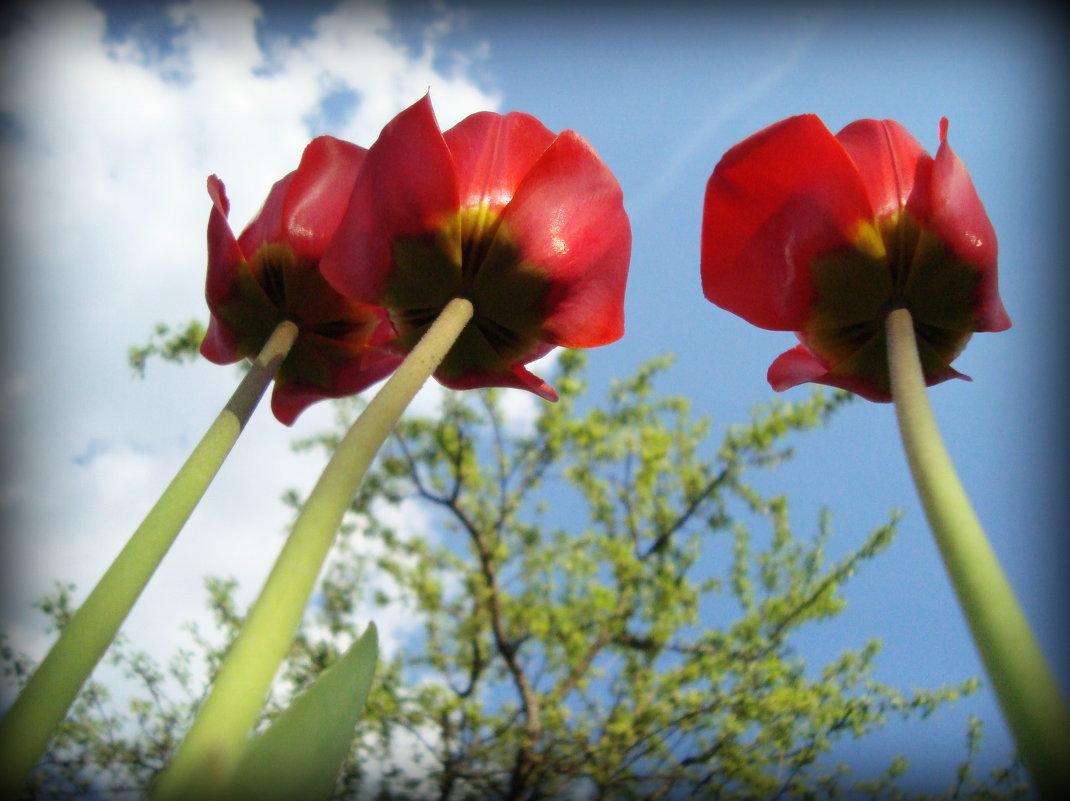 Тюльпаны - Евгения Х