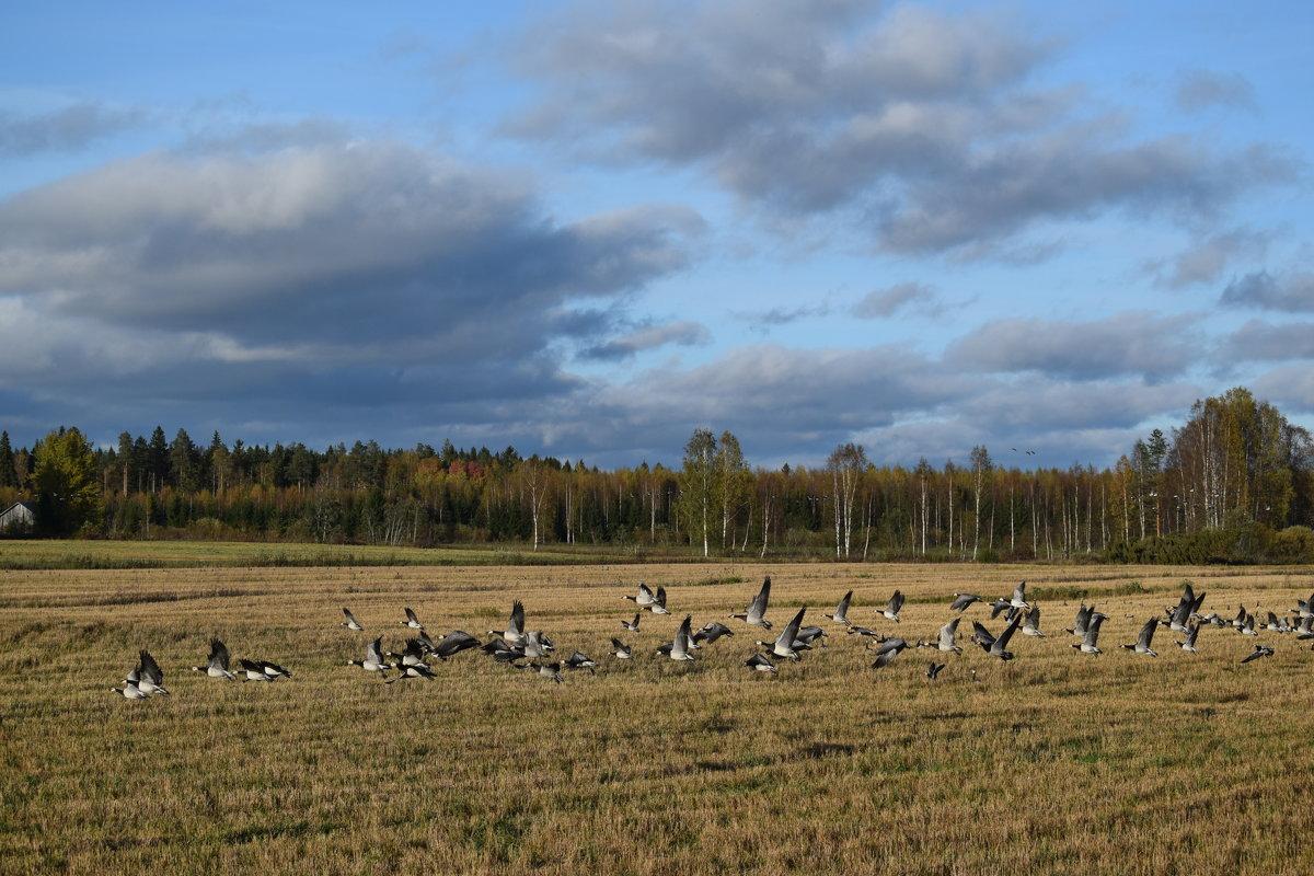 На фермерском поле птицы собираются  в стаи перед долгим полётом. - Андрей