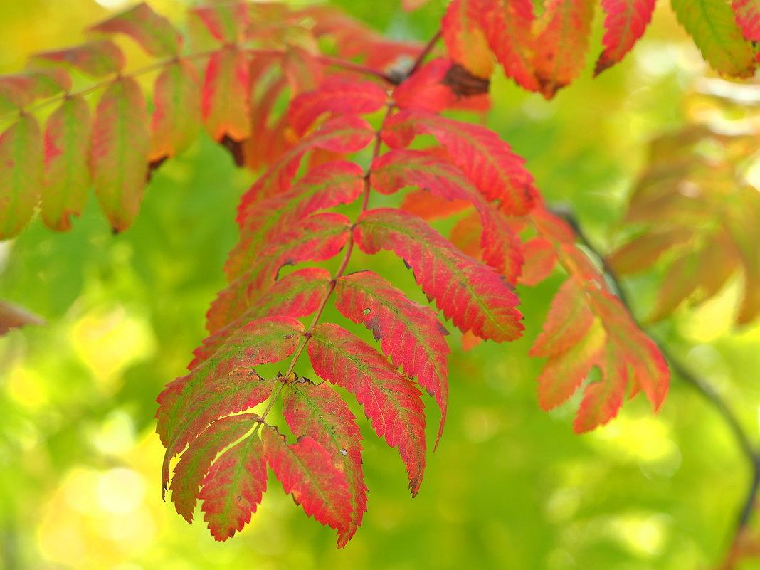 Рябиновые листья осенью горят - Swetlana V