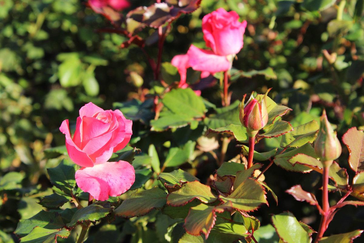 Осенние розы - Любовь ***
