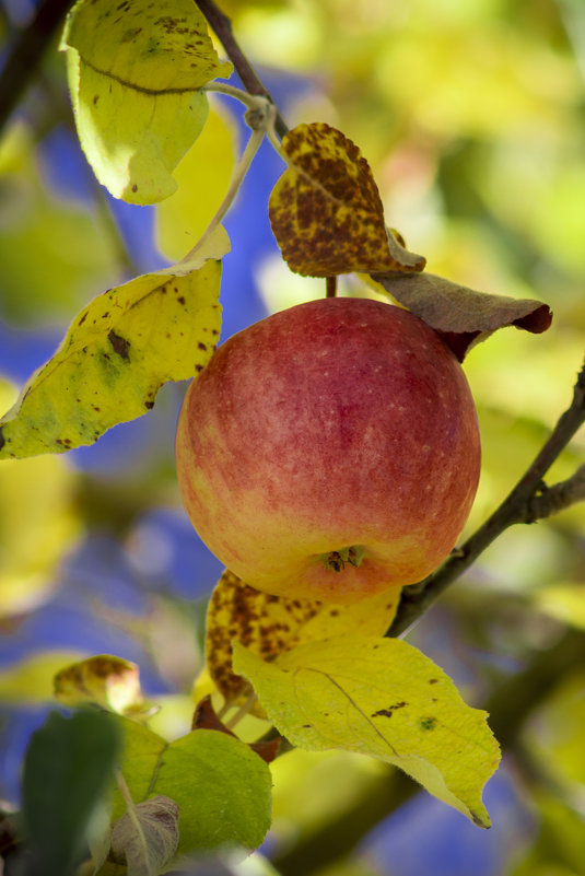 Последнее осеннее яблочко - Анастасия Мойсук