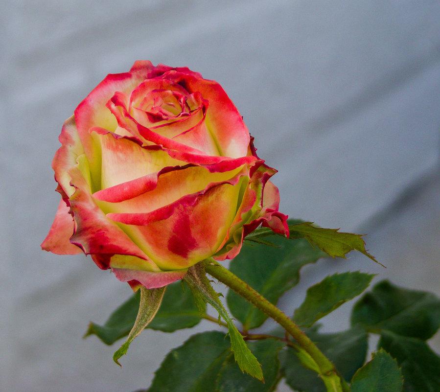 Розы - Варвара