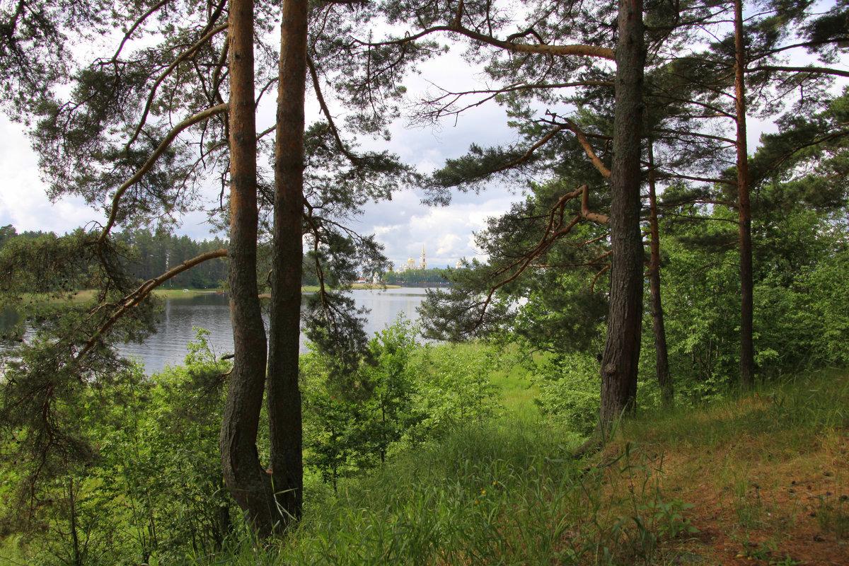 О чем шумят сосновые леса?