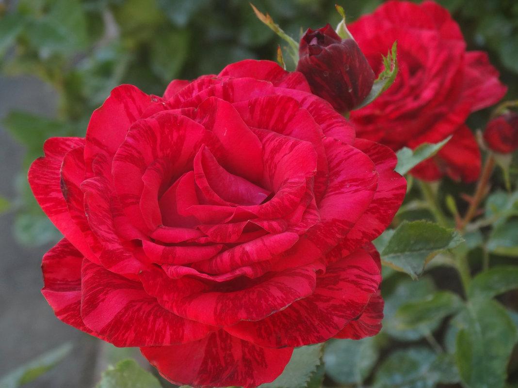 Июнь,утро,розы...2 - Тамара (st.tamara)