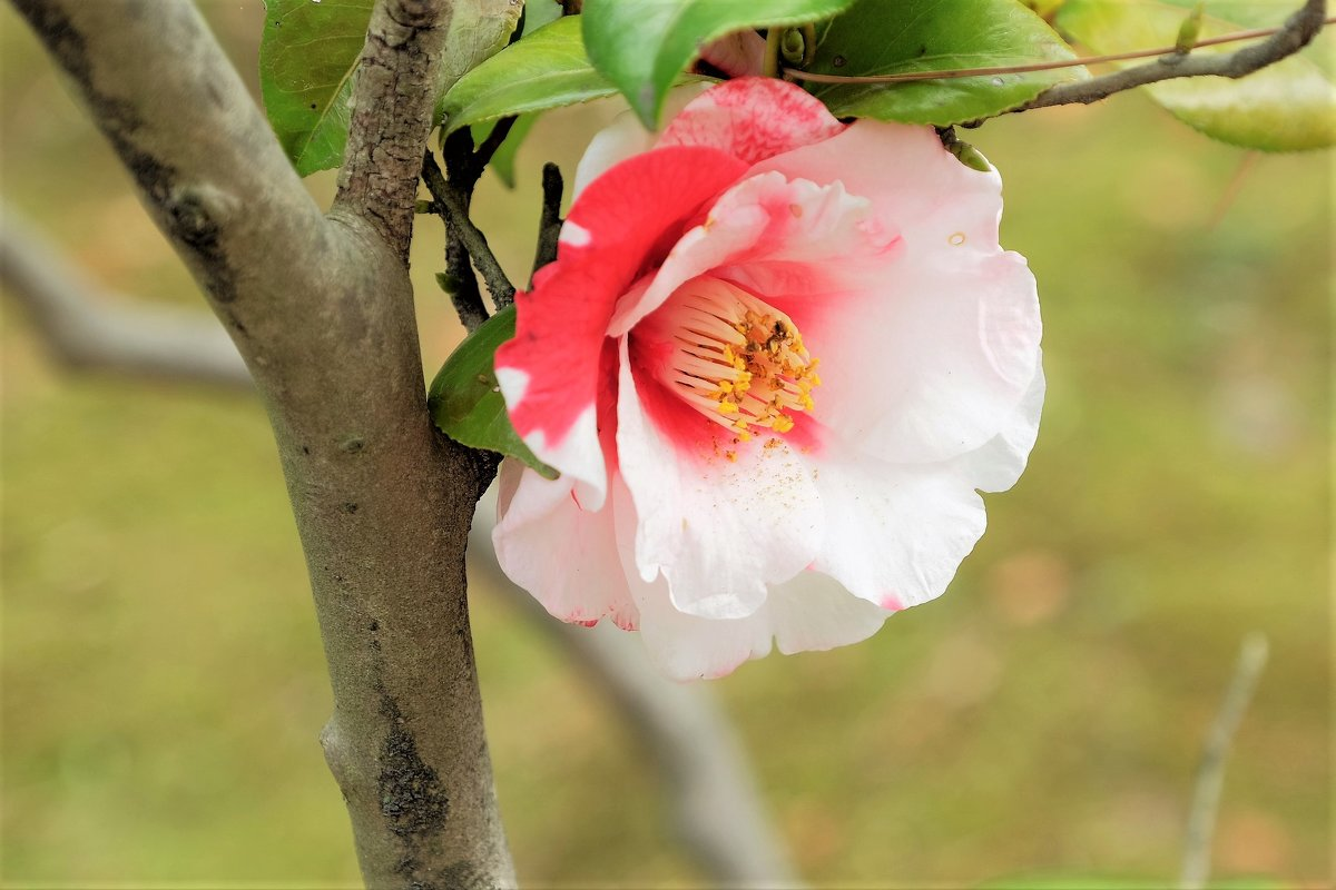 Камелия Ботанический сад Higashiyama Нагоя - Swetlana V