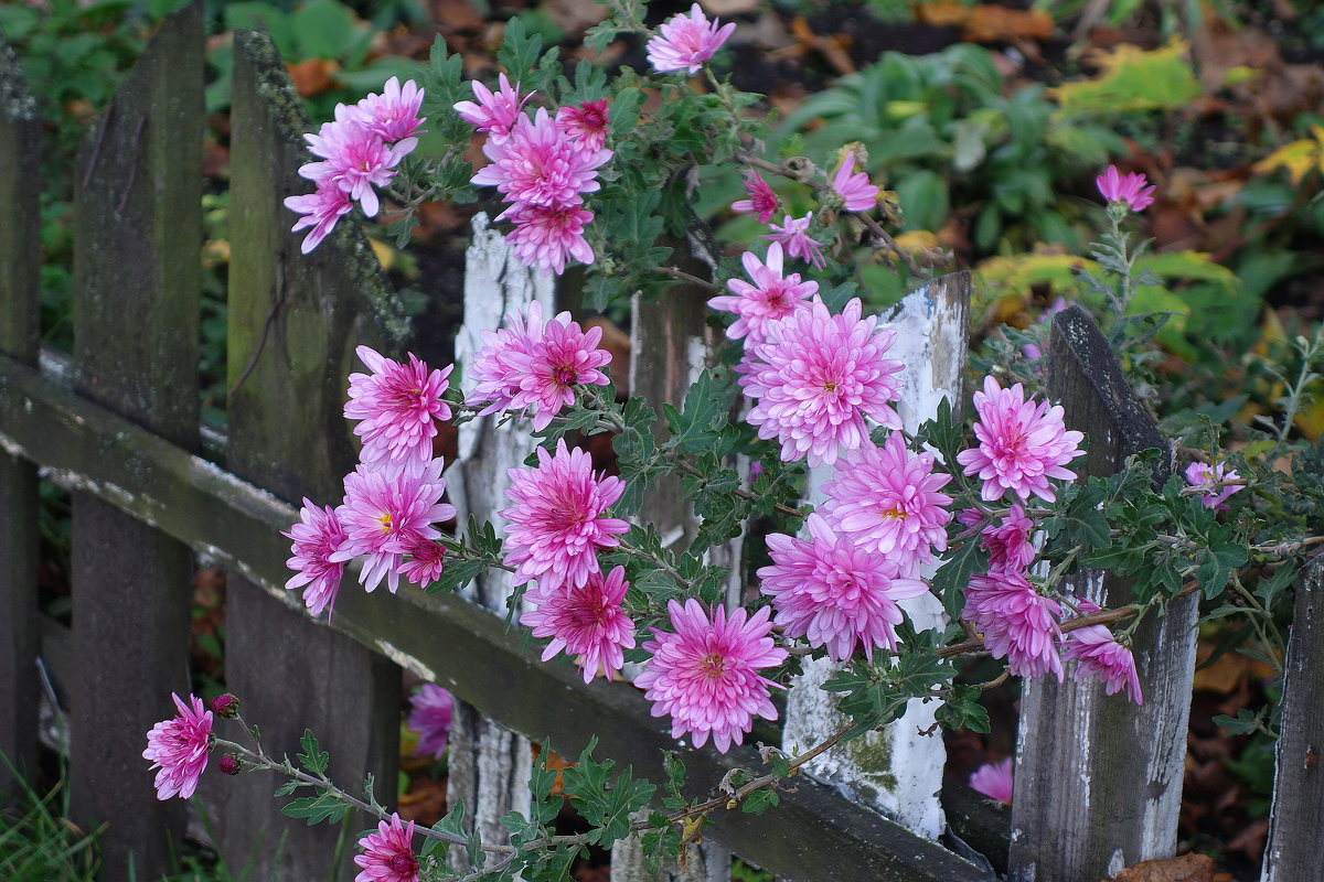 Осенние цветы - хризантема - Маргарита Батырева