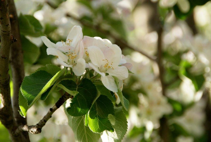 Цветет яблоня - Алексей Кудрявцев