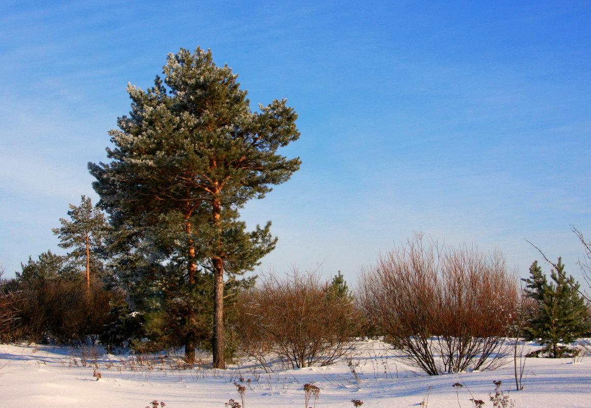 Сосны замерли в снегу...