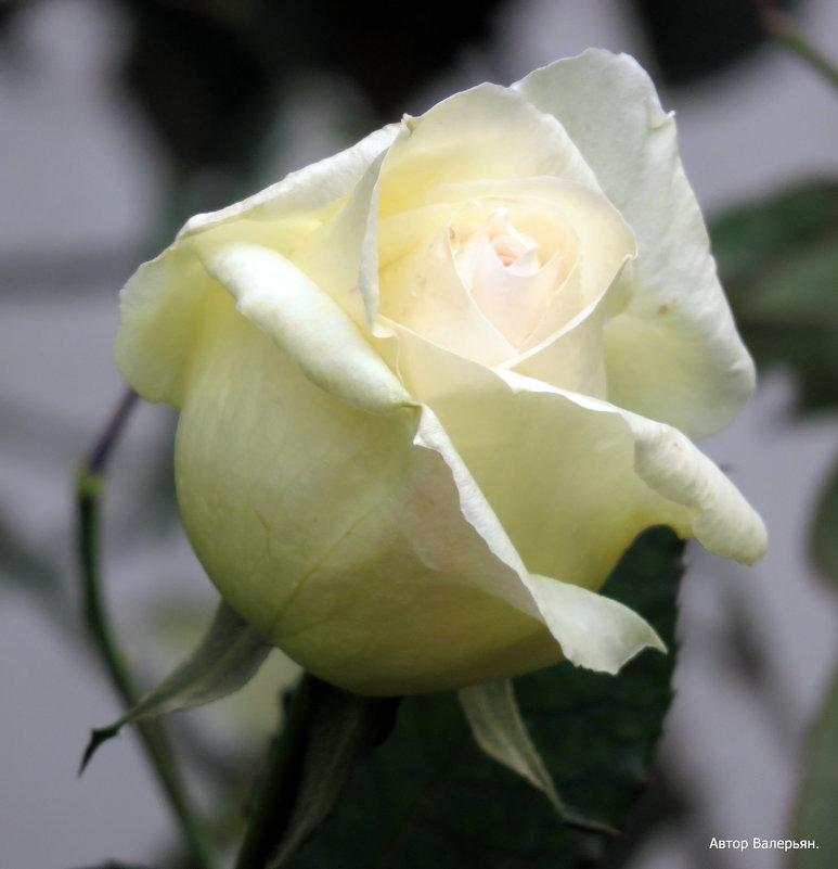 Белая роза. - Валерьян Запорожченко