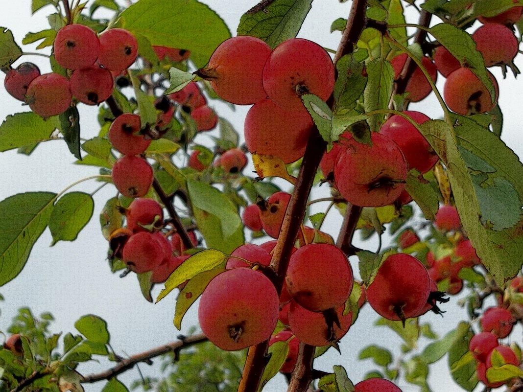Райские яблочки. - Анфиса