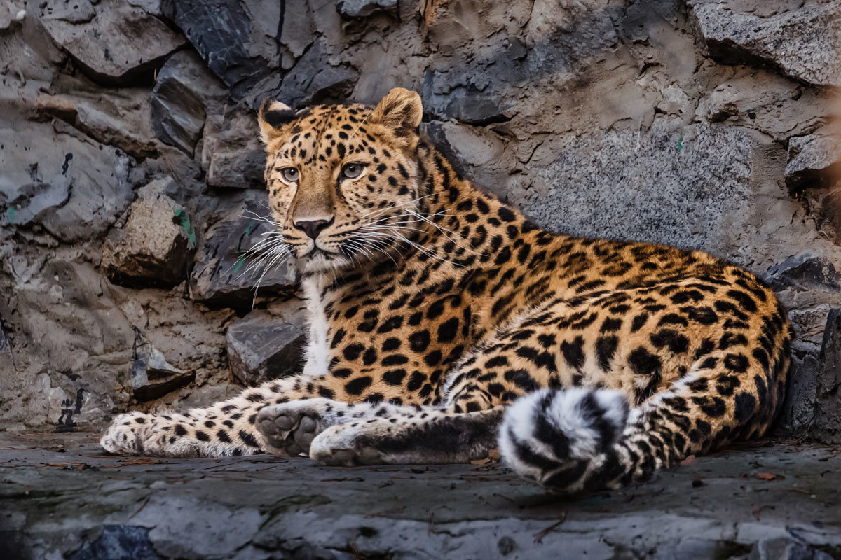 Леопард - Nn semonov_nn