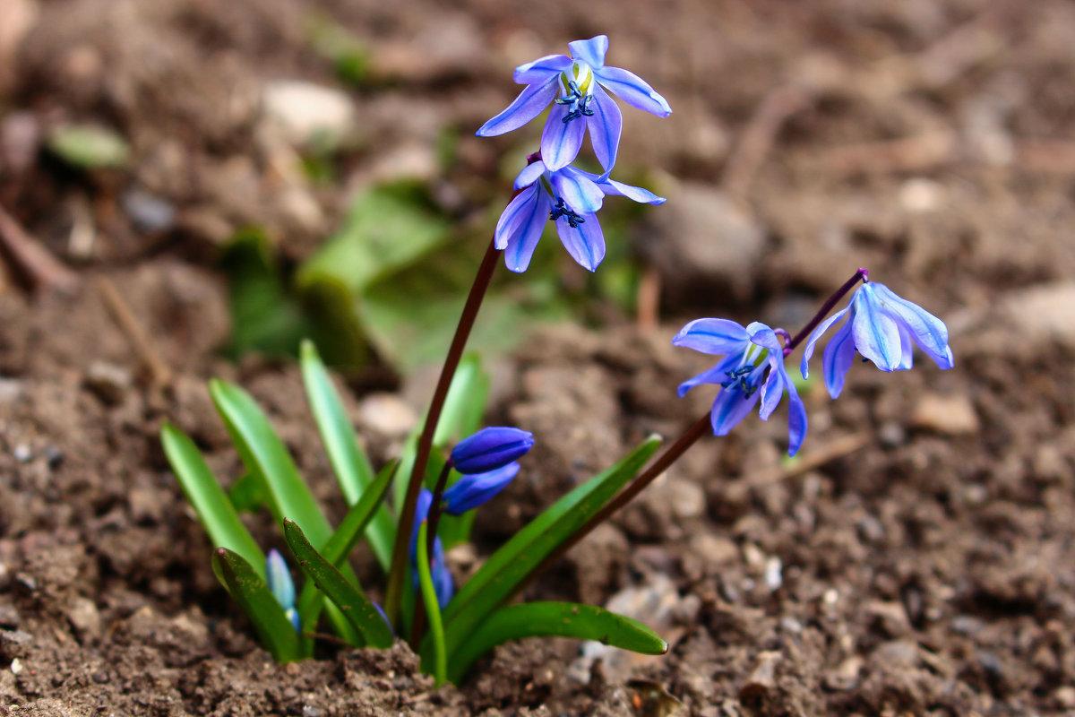 Первые цветы в этом году. - Slav51T