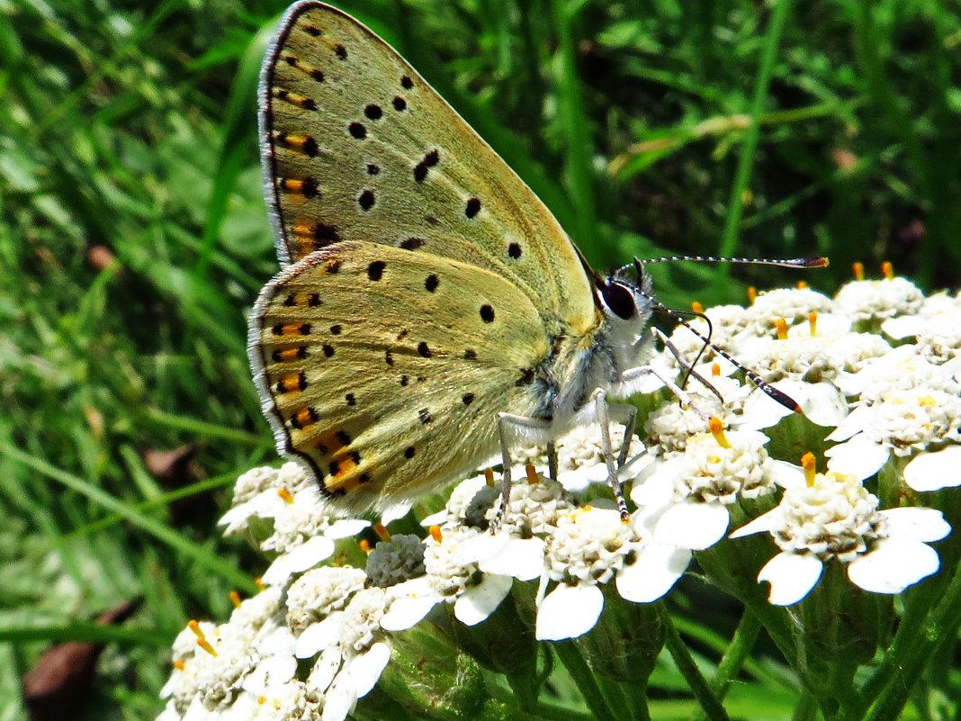 Голубянка бурая - vodonos241