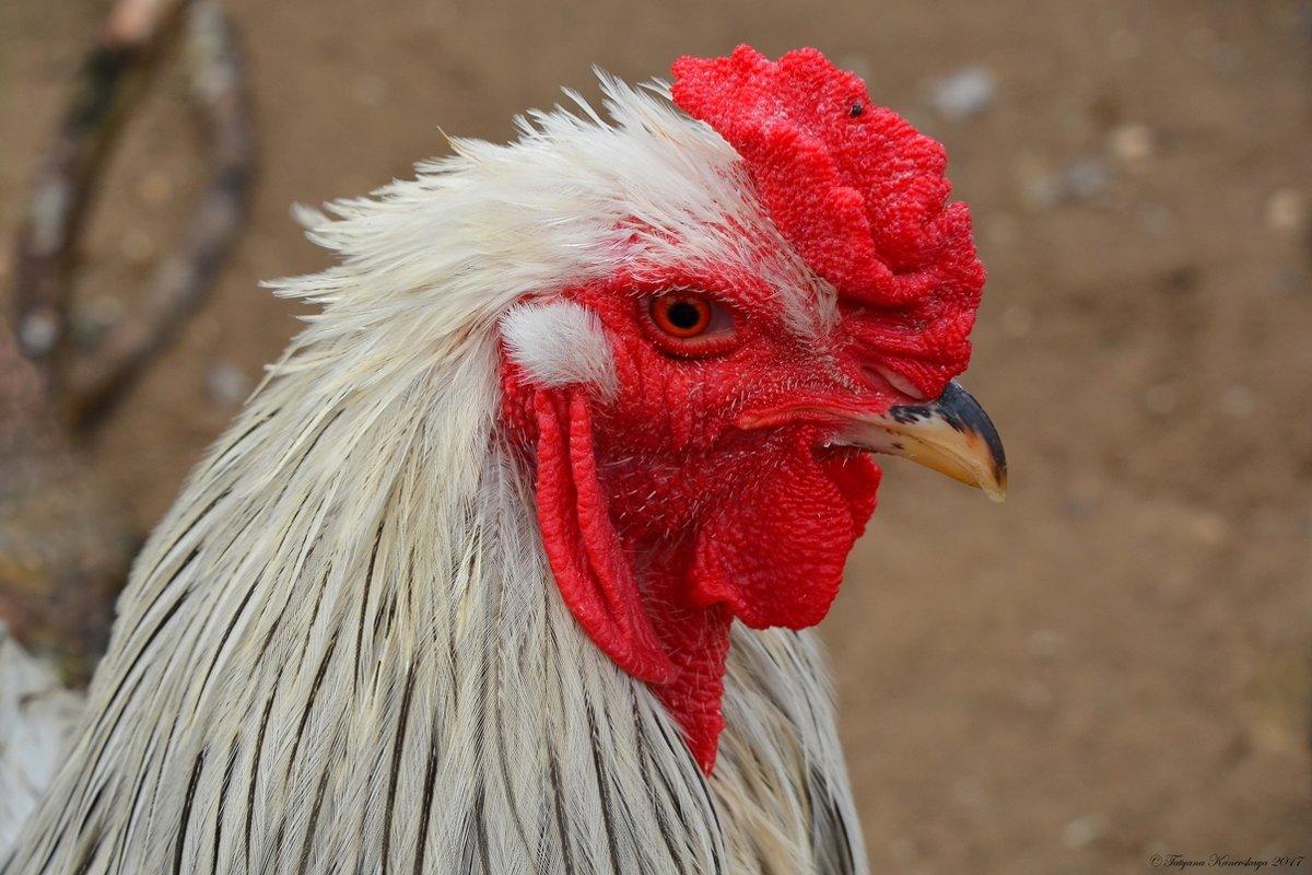 Глава куриного семейства