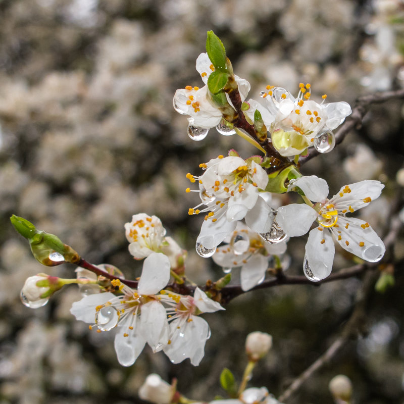 цветение алычи IMG_3505-23 - Олег Петрушин