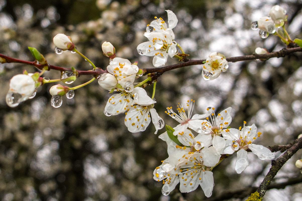 цветение алычи IMG_3510-28 - Олег Петрушин