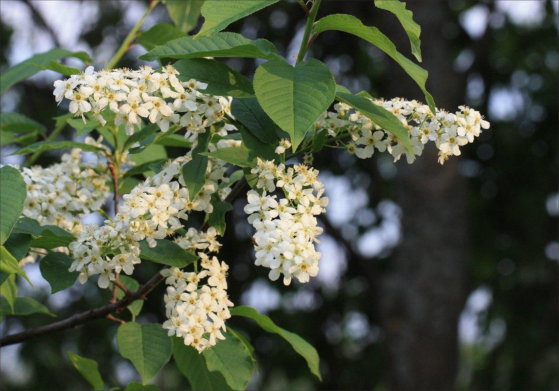 Душистое цветение - ZNatasha -