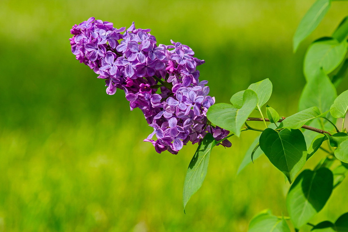 Сирень цветёт - N93RUS