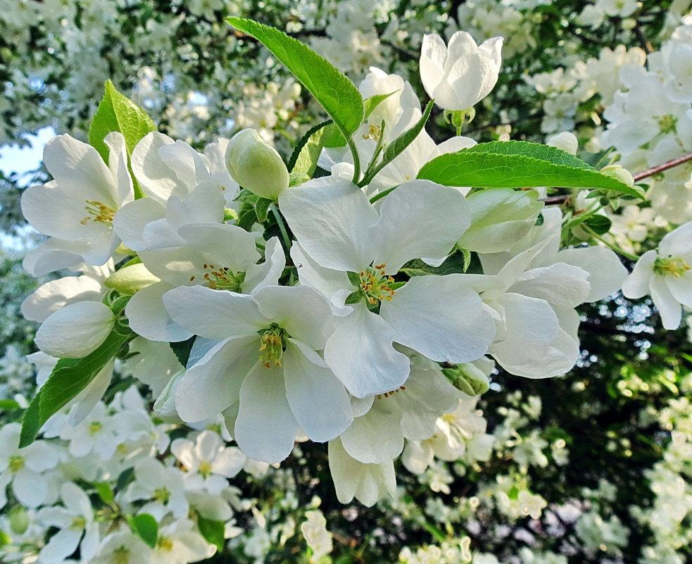 Белый цвет,яблони цвет - Liliya Kharlamova