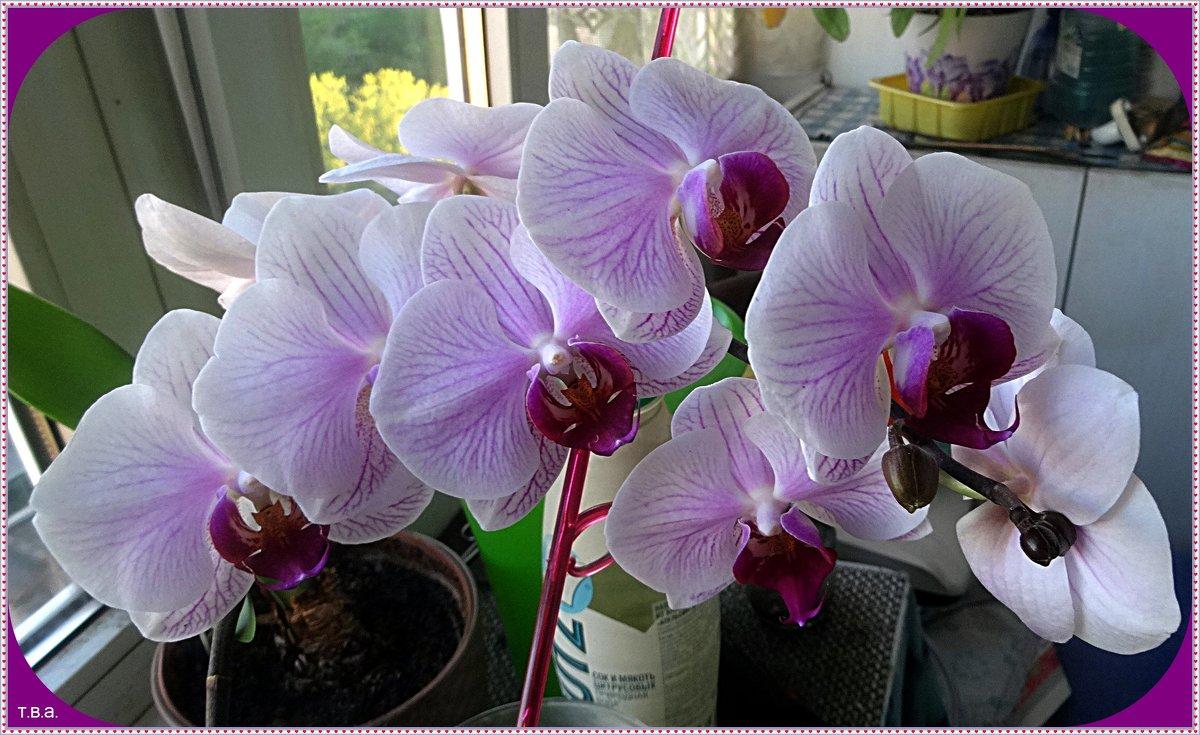 Орхидея - Вера