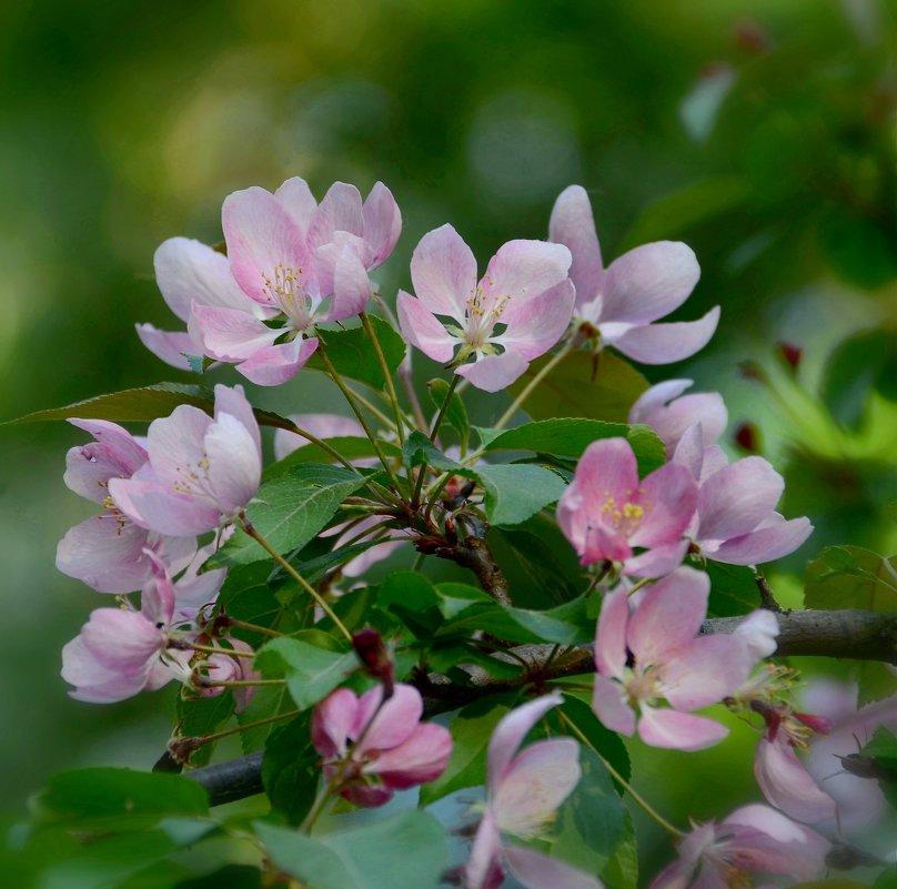 Яблони в цвету - какое чудо!.. - Ольга Русанова (olg-rusanowa2010)