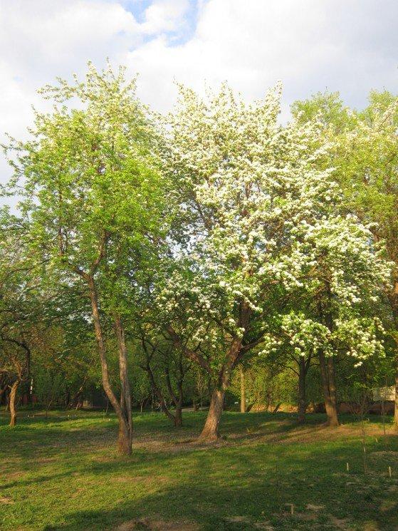 Яблоня бела весной - Дмитрий Никитин