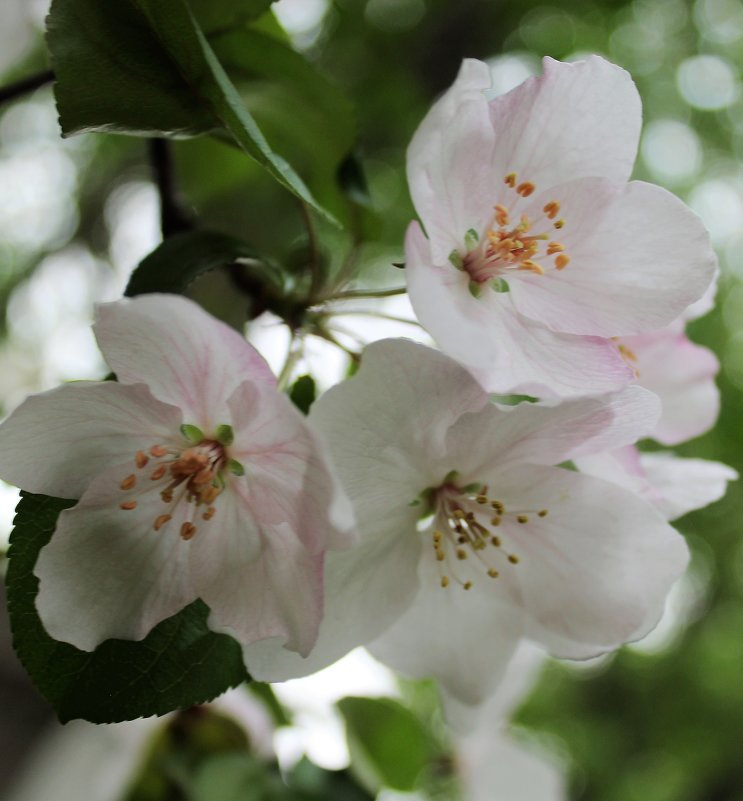 цветы яблони - ольга хакимова