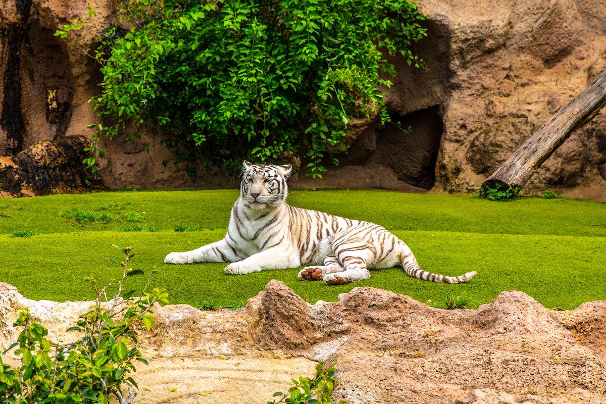 Белый тигр - Александр М